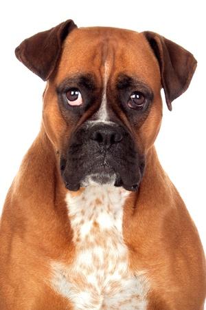 squint: Beautiful Boxer dog isolated on white background Stock Photo