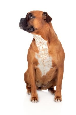 large dog: Beautiful Boxer dog isolated on white background Stock Photo