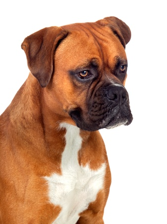 boxer dog: Beautiful Boxer dog isolated on white background Stock Photo