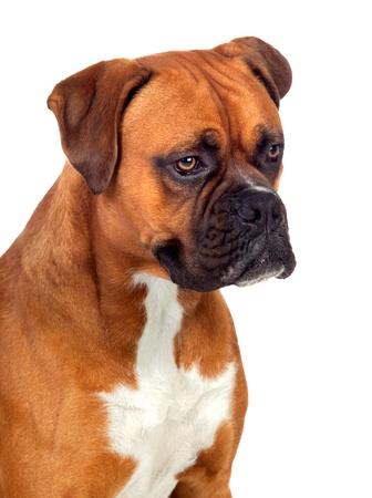 breeds: Beautiful Boxer dog isolated on white background Stock Photo
