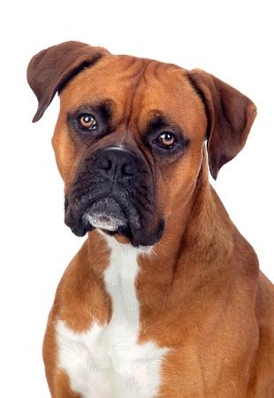 perro boxer: Boxer perro hermoso aislado en el fondo blanco