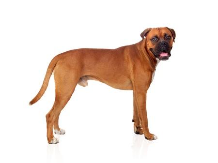 boxeador: Boxer perro hermoso aislado en el fondo blanco
