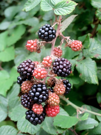 Photo of a mulberry tree with ripe berries photo