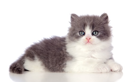 Beautiful angora kitten with gray and soft hair isolated on white background photo