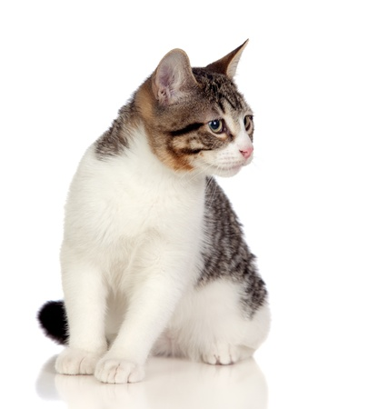 Beautiful gray and white cat isolated on white background photo