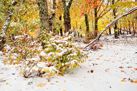 Beautiful snowy forest with yellow leaves trees photo