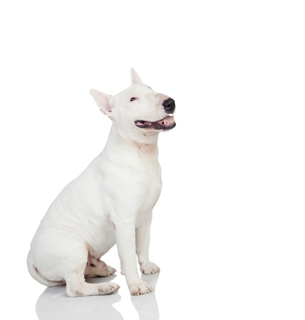 bull's eye: Beautiful bullterrier isolated on a white background with reflection on the floor