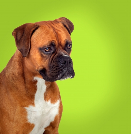 Adorable boxer dog in profile on green background photo