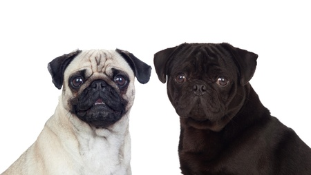 Nice couple of pug carlino dogs isolated on white background