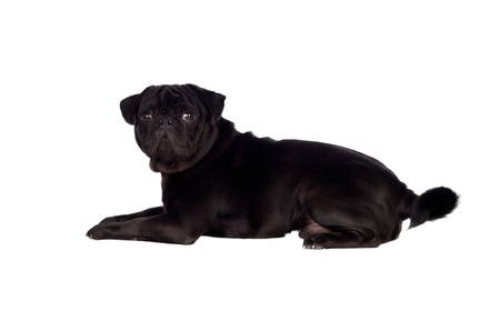 Nice pug carlino dog with black hair isolated on white background Foto de archivo