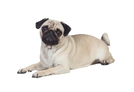 Nice pug carlino dog with white hair isolated Foto de archivo