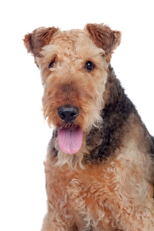 airedale terrier dog: Nice airedale terrier breed dog isolated on white background Stock Photo