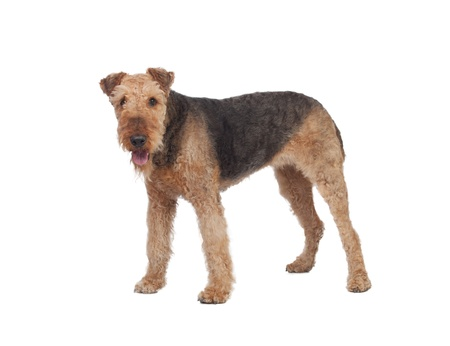 airedale: Nice airedale terrier breed dog isolated on white background Stock Photo