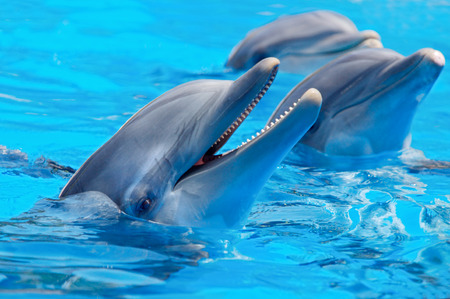 Three beautiful and funny dolphins during an exhibition in the water photo
