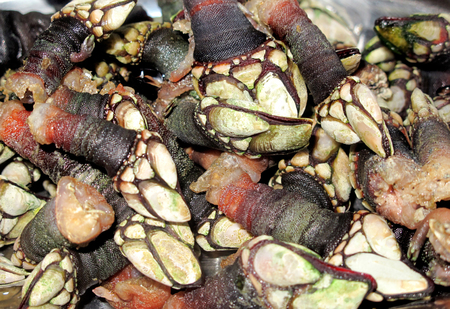 barnacles: Juicy Galician barnacles cooked ready to eat Stock Photo