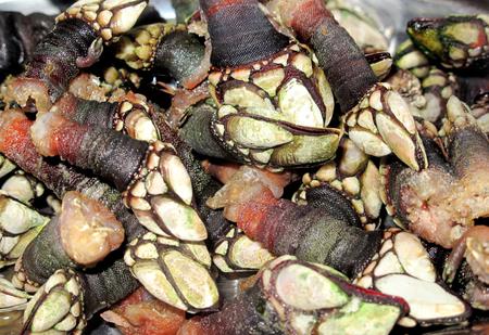 barnacles: Juicy galiziani balani cotti pronti per il consumo