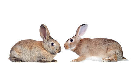faced: Couple of rabbits faced isolated on a white background
