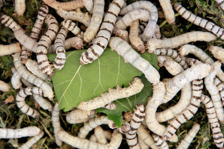 Many silkworms eating mulberry leaves before getting cocoons photo