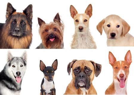 Photo collage of different breeds of dogs isolated on a white background photo