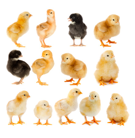 pullet: Collage of beautiful yellow and black chicks isolated  Stock Photo