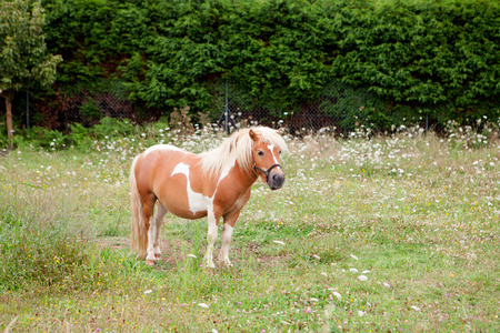 Brown Pony grazing in a meadow with flowers photo