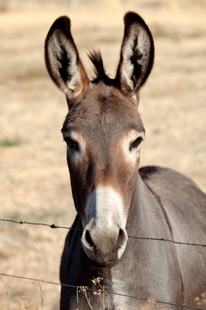 Funny donkey looking at camera behind a fence Foto de archivo