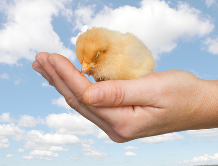 Chicken asleep on a hand against a beautiful sky background photo