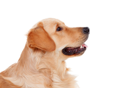 golden: Beautiful Golden Retriever dog breed in isolated studio on white background Stock Photo