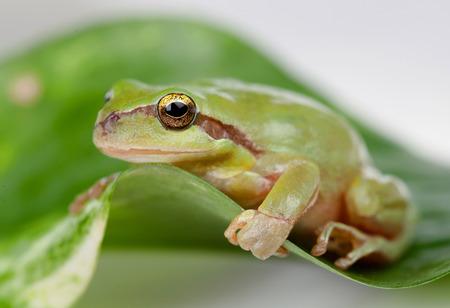 rana: Rana verde con ojos saltones de oro en una hoja