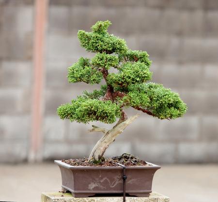 nice house: Nice bonsai in the garden of a house