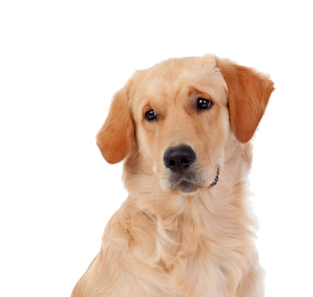 golden retriever puppy: Beautiful Golden Retriever dog breed in isolated studio on white background Stock Photo