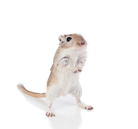 Portrait of a funny gergil standing isolated on a white background Stock Photo