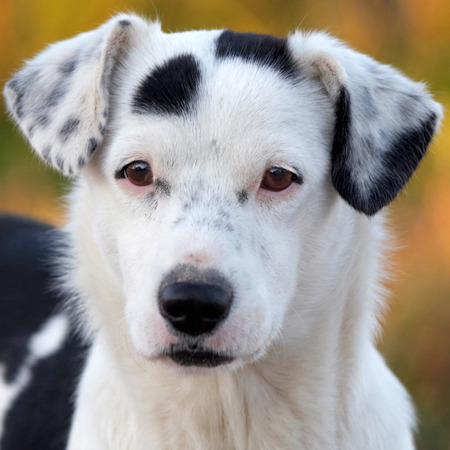 pure blooded: Portrait of a white and black dog with brown eyes