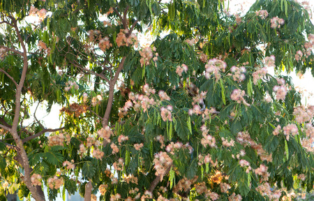 tamarind tree images  stock pictures. royalty free tamarind tree, Beautiful flower