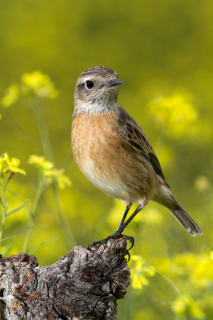 flowered: Nice specimen of female Stonechat with flowered background