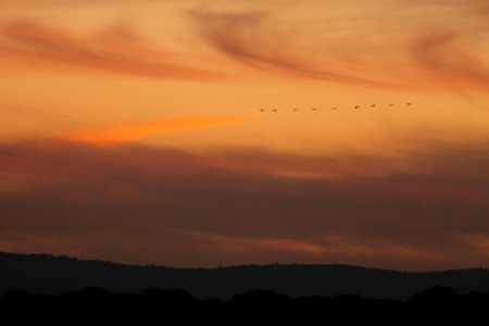 ordered: Ordered cranes flying in formation over an orange sky