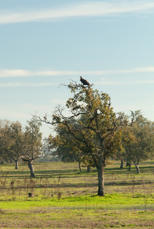 extremadura: Vulture perched in a tree in Extremadura in Spain