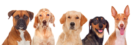 group photo: Differents dogs looking at camera isolated on a white background