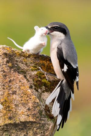 Schöner Vogel ihre Beute Trapping, eine weiße Maus