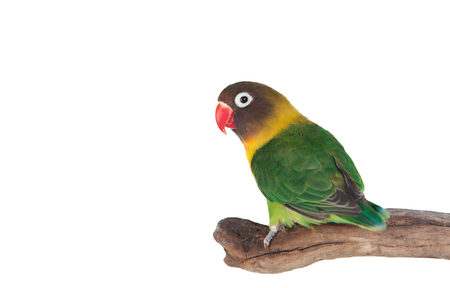red beak: Nice parrot with red beak and yellow and green plumage on white background