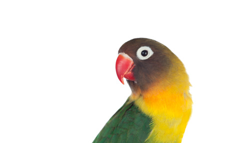 beak: Nice parrot with red beak and yellow and green plumage on white background
