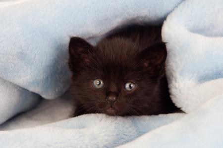 blue blanket: Small black kitten lying on a blue blanket