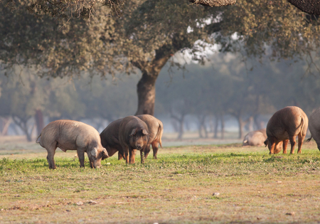Iberian pig eating acorns in the meadow Stock Photo