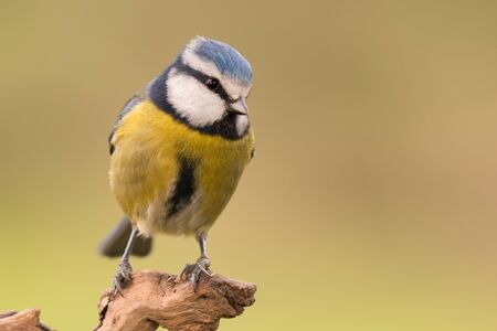 cyanistes: Nice tit with blue head perched on a log