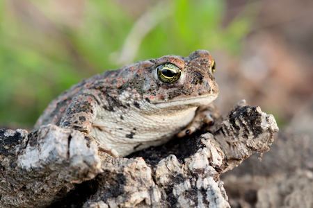 bulging: Frog with bulging green eyes in nature Stock Photo