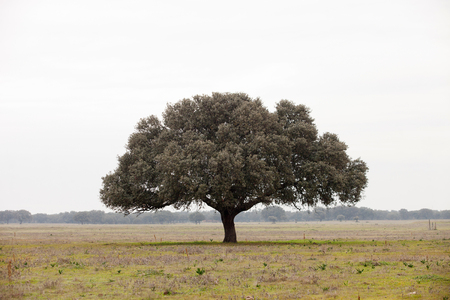 mediterranean forest: Oak holms, ilex in a mediterranean forest. Landscape in Extremadura center of Spain Stock Photo