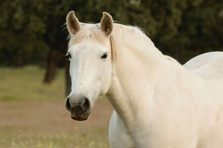 Nice free white horse in the pastures of Extremadura in Spain
