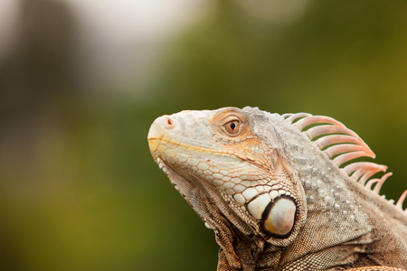 Profile of an amphibian, the iguana. Detail of the eyes and skin