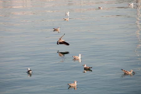 northern spain: Seagulls floating on a calm sea in northern Spain