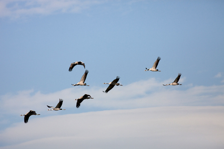 Ordered cranes flying in formation over an beautiful sky Stock Photo